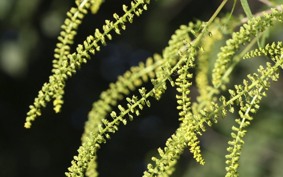 Ragweed Pollen: Coming Soon to a Place Near You!