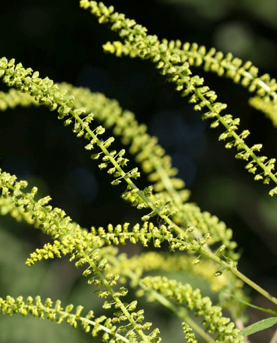 Allergists Offer Ragweed Survival Guide